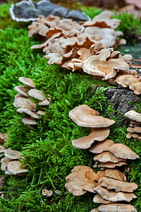 Bitter oyster (Panellus stipticus) growing on a tree stump, Belgium, October.  -  Philippe Clement