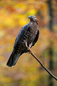 European Honey buzzard (Pernis apivorus) in a forest, Germany, October. Captive. Digital composite. - Philippe Clement