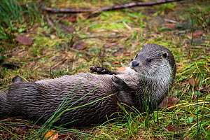 Close up of a European river otter (Lutra lutra) lying on its back, Bayerischer Wald / Bavarian Forest National Park, Germany, October. Captive.  -  Philippe Clement