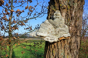 Tinder bracket fungus (Fomes fomentarius) growing on a Pedunculate oak (Quercus robur), Belgium, December.  -  Philippe Clement