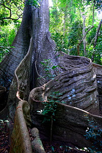 Great kapok (Ceiba pentandra) tree, buttress trunk and roots, Cantanhez National Park, Guinea-Bissau.  -  Enrique Lopez-Tapia