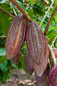 Cocoa pods (Theobroma cacao) growing, Ecuador, October. - Chris  Mattison
