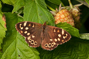 Speckled Wood butterfly (Pararge aegeria), Derbyshire, UK. September.  -  Alex  Hyde