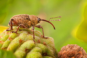Acorn Weevil (Curculio glandium) on acorn. The National Forest, Leicestershire, UK. September.  -  Alex  Hyde