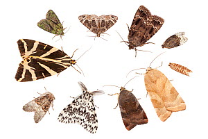 A selection of moths attracted to a Robinson moth trap, using a mercury vapour bulb. Clockwise from top left: Tree-lichen Beauty (Cryphia algae), Small Phoenix (Ecliptopera silaceata), Copper Underwin...  -  Alex  Hyde