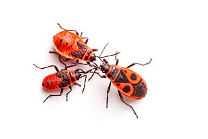 Fire Bugs (Pyrrhocoris apterus) photographed on a white background in mobile field studio, Normandy, France. July. - Alex  Hyde