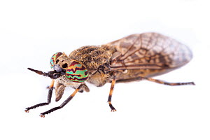 Cleg Fly / Horsefly (Haematopota pluvialis), photographed on a white background in mobile field studio. Normandy, France. July. - Alex  Hyde
