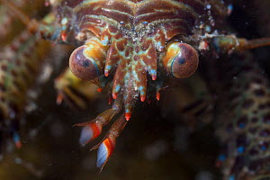 Squat Lobster (Galathea sp.) close up showing compound eyes. Northumberland, UK. May. - Alex  Hyde