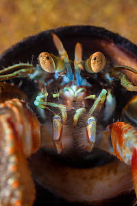 Common Hermit Crab (Pagurus bernhardus) in shell of Edible Periwinkle (Littorina littorea).  This close up shows the compound eyes. Northumberland, UK. May. - Alex  Hyde