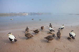 Eiders (Somateria mollissima) on sandy beach in harbour, Northumberland, UK. May.  -  Alex  Hyde