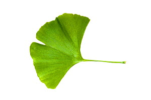 A leaf from a Ginkgo tree, (Ginkgo biloba) also known as the maidenhair tree. The ginkgo is a living fossil and is recognisably similar to fossils dating back 270 million years. Photographed on a whit... - Alex  Hyde