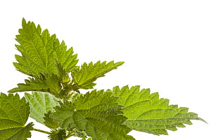 Stinging Nettle (Urtica dioica), photographed in mobile field studio against a white background. Derbyshire, UK. September. - Alex  Hyde