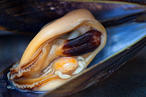 Pea Crab (Pinnotheres pisum) inside a Common Mussel (Mytilus edulis). This small crab parasitises a number of bivalve species including mussels, living in the host's mantle cavity. Normandy, France. J...  -  Alex  Hyde
