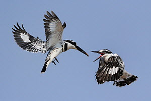 Juvenile Pied kingfisher (Ceryle rudis) being fed in mid air, Chobe River, Botswana. - Lou Coetzer