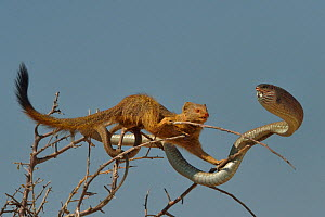 Slender mongoose (Galerella sanguinea) approaching Boomslang snake (Dispholidus typus) in tree, Etosha National Park, Namibia, July.  -  Lou Coetzer