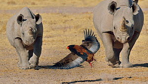 Bateleur eagle (Terathopius ecaudatus) flying away from approaching Black rhino (Diceros bicornis) and calf, Etosha National Park, Namibia, July, Critically endangered species.  -  Lou Coetzer