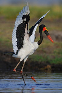 Saddle billed stork (Ephippiorhynchus senegalensis) hunting in shallow water with outstretched wings, Chobe River, Botswana.  -  Lou Coetzer