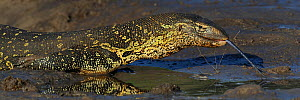 Nile monitor (Varanus niloticus) approaching water to drink, Chobe River, Botswana, March.  -  Lou Coetzer