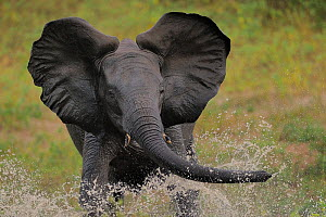 Young bull African elephant (Loxodonta africana) splashing in water, Chobe River, Botswana, March, Vulnerable species.  -  Lou Coetzer