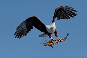 African fish eagle (Haliaeetus vocifer) in flight with Catfish in claws, Chobe River, Botswana.  -  Lou Coetzer
