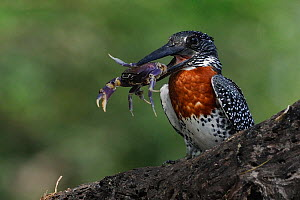 Giant kingfisher (Megaceryle maxima) with crab in beak, Chobe River, Botswana.  -  Lou Coetzer