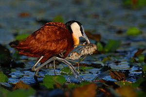 Male African jacana (Actophilornis africana) rescuing chick from water, Chobe River, Botswana.  -  Lou Coetzer