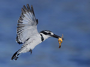 Pied kingfisher (Ceryle rudis) in flight with frog prey, Chobe River, Botswana, April.  -  Lou Coetzer