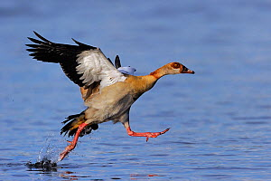 Egyptian goose (Alopochen aegyptiaca ) taking off from water surface, Chobe River, Botswana, April. - Lou Coetzer