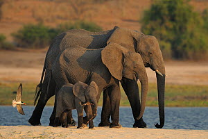 Three African elephants (Loxodonta africana) with African skimmer (Rynchops flavirostris) attacking, Chobe River, Botswana, August, Vulnerable species.  -  Lou Coetzer
