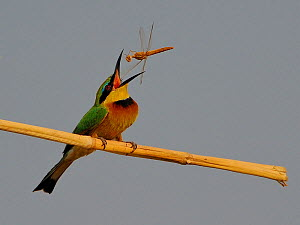 Little bee eater (Merops pusillus) catching Dragonfly, Chobe River, Botswana.  -  Lou Coetzer