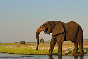 Bull African elephants (Loxodonta africana) spread out on the banks of the Chobe River, Botswana, October, Vulnerable species. - Lou Coetzer