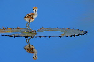 African jacana (Actophilornis africana) chick, one day, standing on leaf, Chobe River, Botswana, April.  -  Lou Coetzer