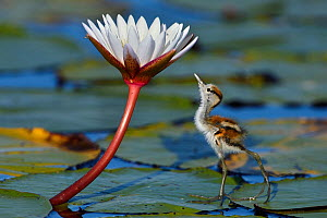 Juvenile African jacana (Actophilornis africana) looking at insect on flower, Chobe River, Botswana, April.  -  Lou Coetzer