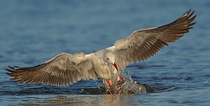 Grey hooded / headed gull (Chroicocephalus cirrocephalus) taking off while exiting water, Chobe River, Botswana.  -  Lou Coetzer