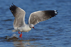 Grey headed / hooded gull (Chroicocephalus cirrocephalus) taking off, Chobe River, Botswana, May.  -  Lou Coetzer