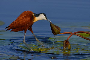 Female African jacana (Actophilornis africana) pulling water lily flower bud, Chobe River, Botswana, September.  -  Lou Coetzer