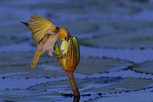 Southern-Brown-throated Weaver (Ploceus xanthopterus) searching Water lily flower for seeds and little snails, Chobe River, Botswana, October.  -  Lou Coetzer