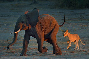 Lioness (Panthera leo) chasing young African elephant (Loxodonta africana) bull, Chobe River, Botswana, May, Vulnerable species. - Lou Coetzer