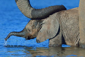 African elephant (Loxodonta africana) calf in water with mother's reassuring trunk resting on head, Chobe River, Botswana, April, Vulnerable species.  -  Lou Coetzer