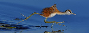 African jacana (Actophilornis africana) chick running across water surface between water lily pads, Chobe River, Botswana, May.  -  Lou Coetzer