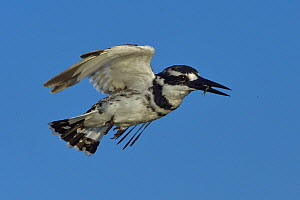 Pied kingfisher (Ceryle rudis) in flight with fish prey, Chobe River, Botswana, May.  -  Lou Coetzer