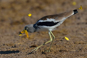 White-crowned wattled lapwing / plover (Vanellus albiceps) catching butterfly, Chobe River, Botswana, March.  -  Lou Coetzer