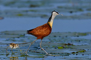 Male African jacana (Actophilornis africana) with chick on water lily pads, Chobe River, Botswana, March. - Lou Coetzer