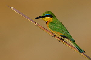 Little bee-eater (Merops pusillus) perched, Chobe River, Botswana, August.  -  Lou Coetzer