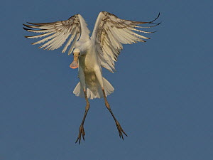 African spoonbill (Platalea alba) braking in flight to avoid collision, Chobe River Botswana, August. - Lou Coetzer