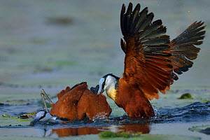 Female African jacana (Actophilornis africana) attacking male, Chobe River, Botswana, October.  -  Lou Coetzer