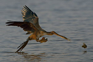 African darter (Anhinga rufa) in flight trying to retrieve dropped food, Chobe River, Botswana, October. - Lou Coetzer