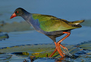 Allen's gallinule (Porphyrio alleni) walking over water lily pads, Chobe River, Botswana, May.  -  Lou Coetzer