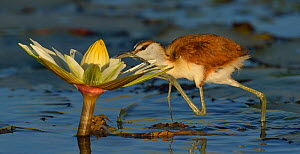 Juvenile African jacana (Actophilornis africana) foraging for insects in water lily flower, Chobe River, Botswana, May. - Lou Coetzer