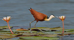 African jacana (Actophilornis africana) foraging for insects in flower, Chobe River, Botswana, November. - Lou Coetzer